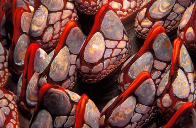 gooseneck barnacle