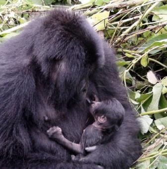 gorrila baby nursing