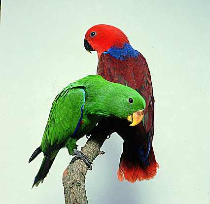 grand eclectus parrot