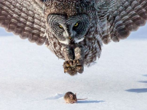 gray-owl-mouse_65519_990x7422