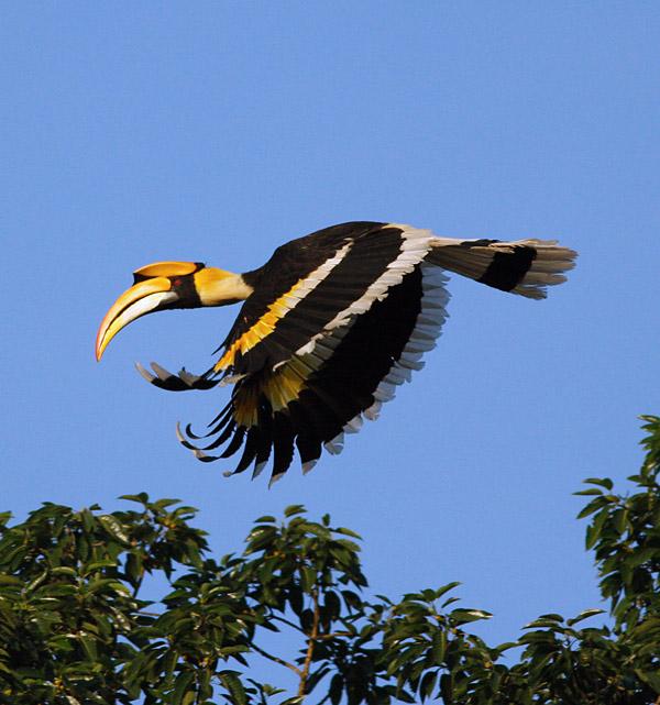 great_hornbill