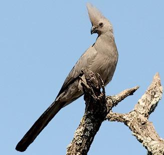 Grey Go-away-bird C.concolor
