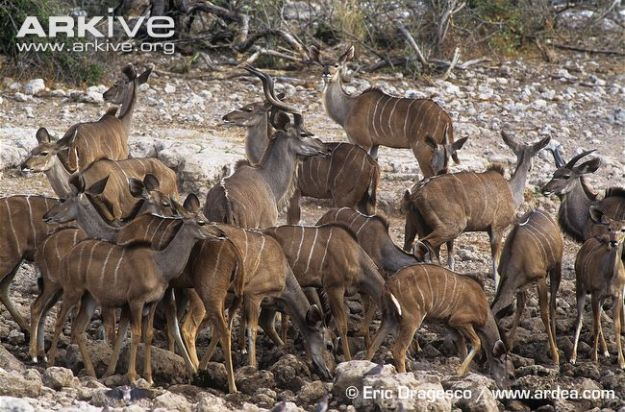 Group-of-greater-kudu