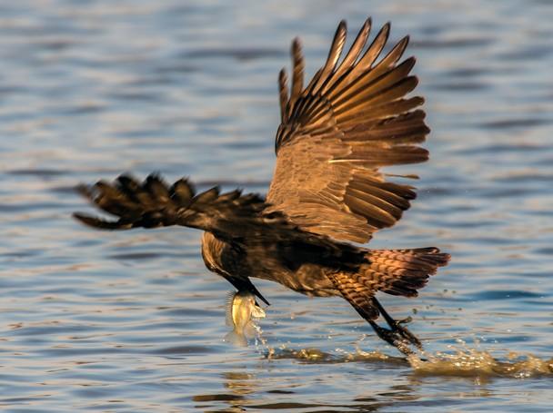 hammerkop fishing in flight