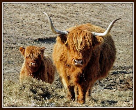 highland20bull