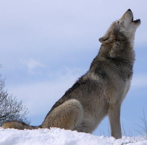 howlsnow