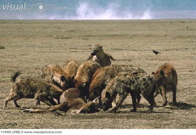 hyenas spotted pack feeding on wildebeast