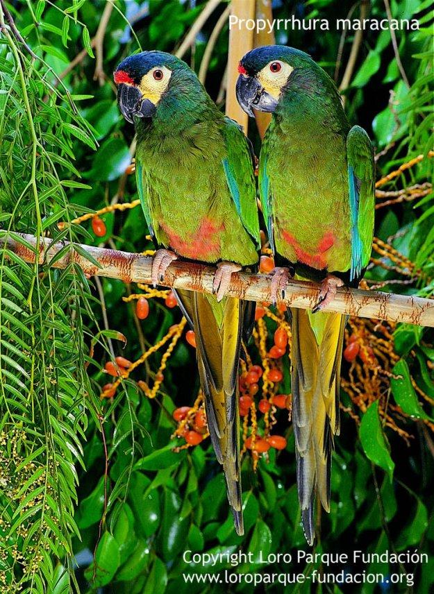 Ara d'Illiger Primolius maracana Blue-winged Macaw