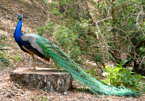 indian-peafowl-male-9a