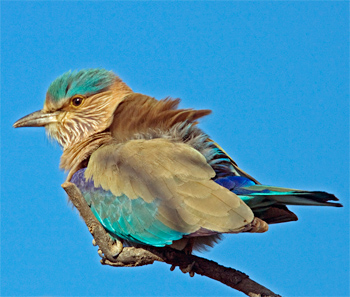 indian-roller-bharatpur-2008