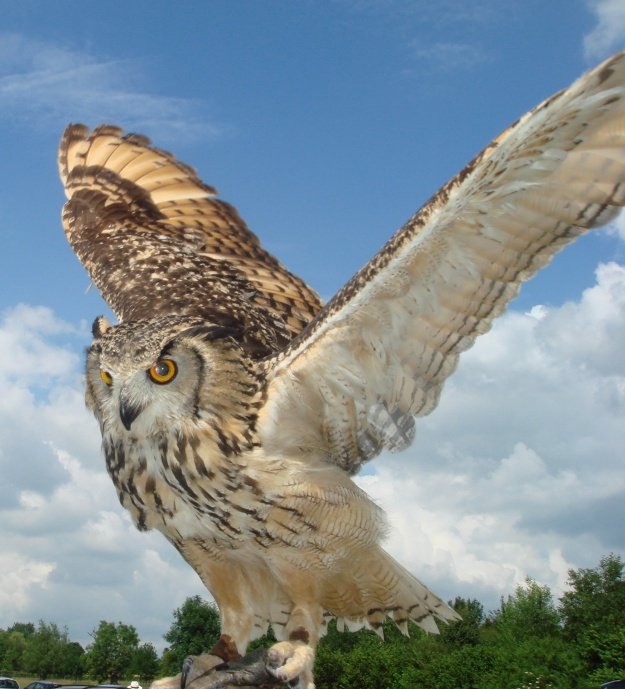 Indian_eagle_owl_wings_spread