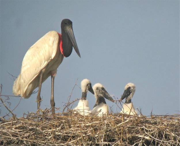 jabiru stork nest with chicks