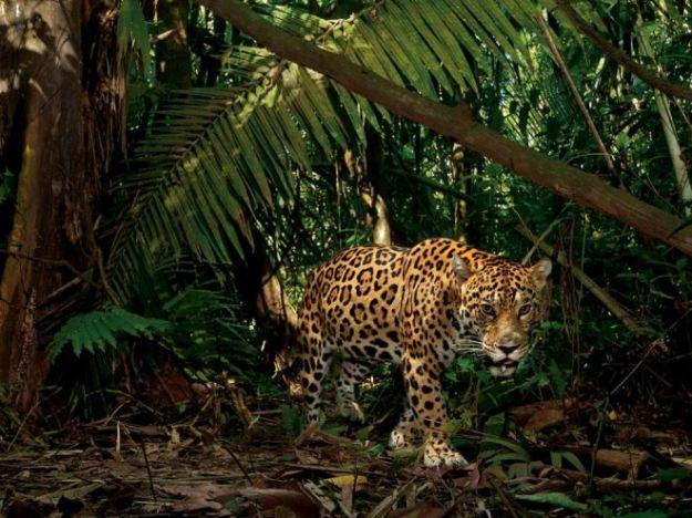 jaguar-ecuador-steve-winter
