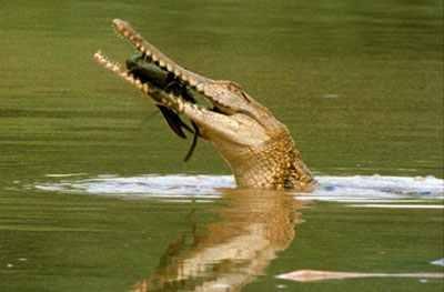Johnston's crocodile freshwater Australia