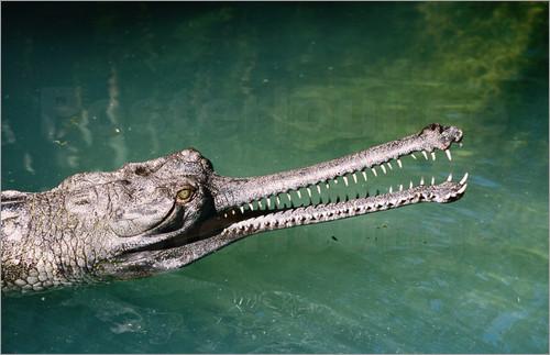 judy-bellah-overhead-of-gharial-crocodile-tomistoma-schlegelii-alligator-farm-zoological-park-69379