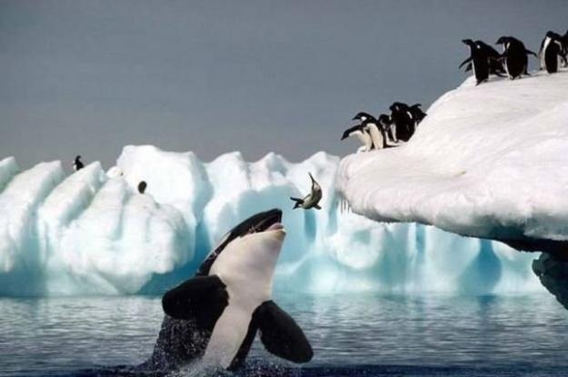 killer_whale_eating