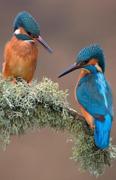 kingfisher birds couple