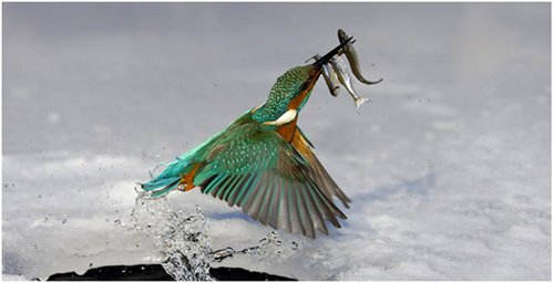 kingfisher with 3 fish prey