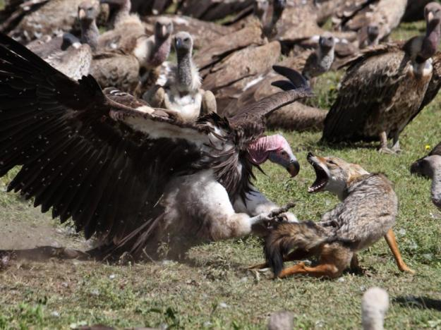 Lappetfaced_Vulture_Attacking_Golden_Jackal_Tanzania_Philip_Perry