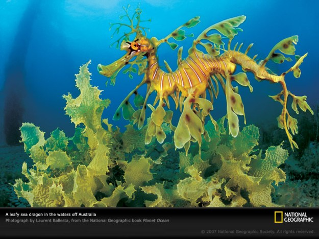 leafy-sea-dragon-ocean-pobook006-sw