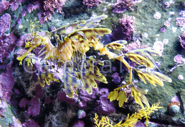 Leafy-Sea-Dragon_view