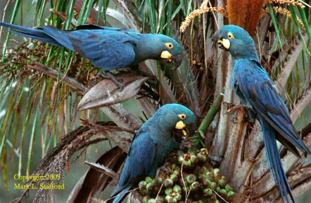 Lears-macaws