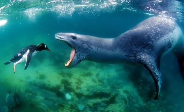 leopard seal attacking prey