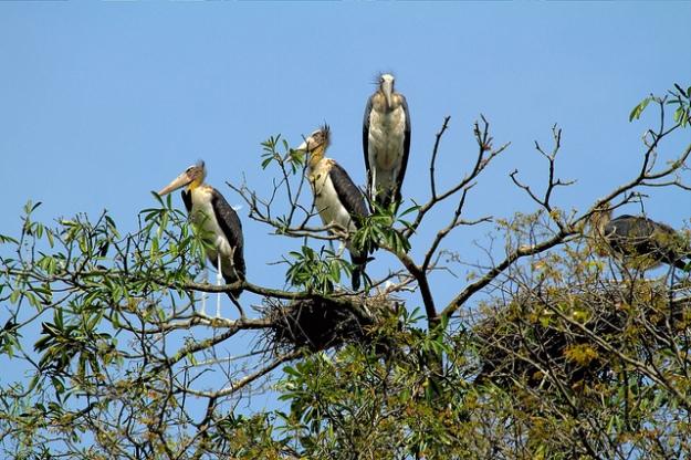 lesser adjudant storks