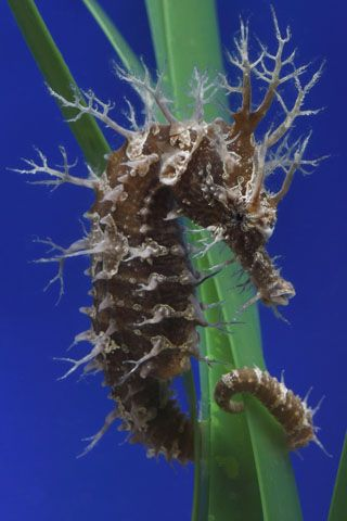 lined seahorse