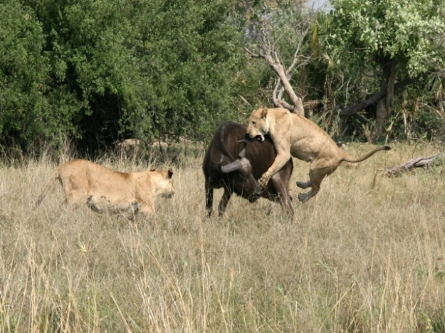 lion attacks the most beautiful african dangerous animal  bufallo attacks picture