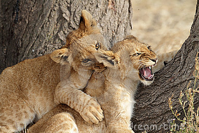 lion cubs play fighting1