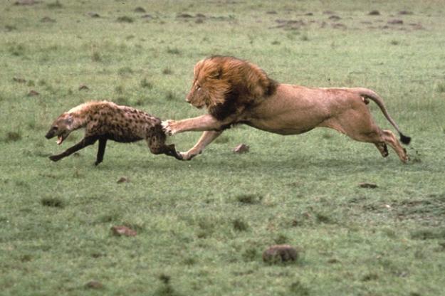 lion-vs-hyena