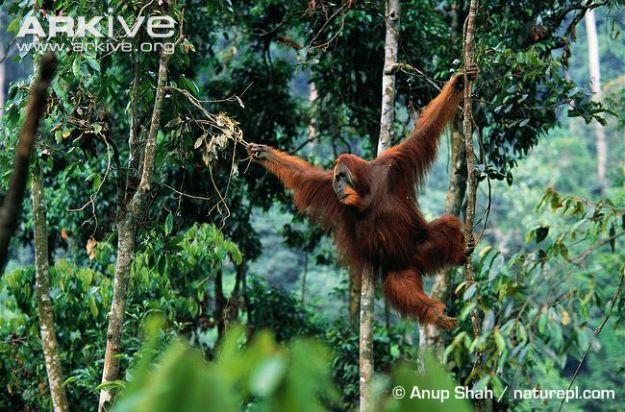 Male-Sumatran-orangutan-swinging-through-trees