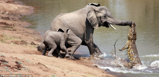 Mama-Elephant-Attacked-By-Crocodile