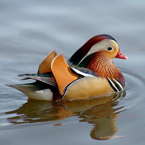 mandarin-duck-swimming-1