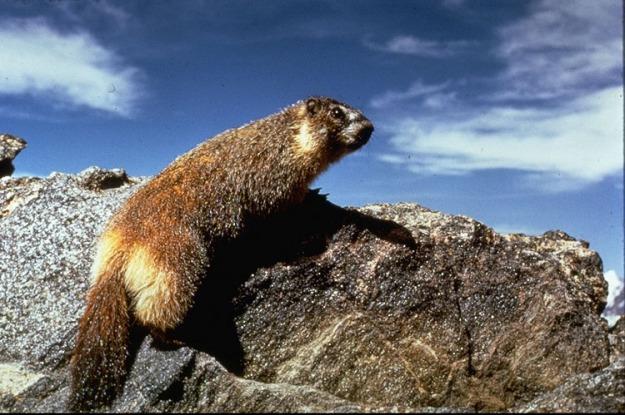 Marmot yellow bellied