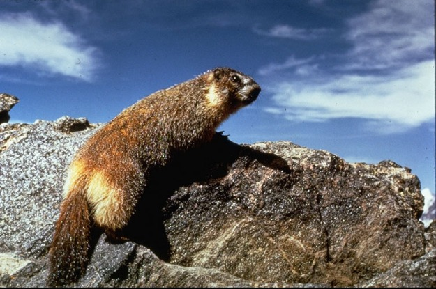 marmot yellow bellied1