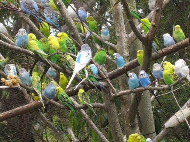 Melopsittacus_undulatus_flock