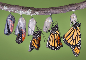 monarch-emerging from a chrysalis