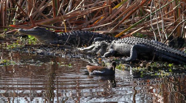 morning-alligators-in-the-swamp-06