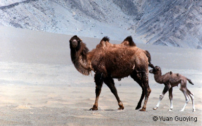 mother-with-son-of-wild-camel in china