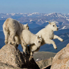 mountain goats1