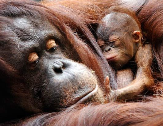 newborn-baby-bornean-orangutan-with-mother