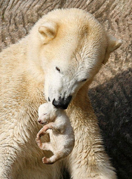 Newborn Baby Polar Bear by rarecollection.ch on Flickr.