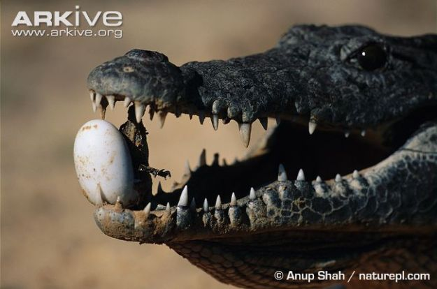 Nile-crocodile-adult-using-teeth-to-help-hatchling-emerge-from-egg