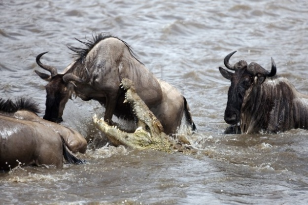 Nile crocodile attacking Wildebeest as they attempt to cross river during migration