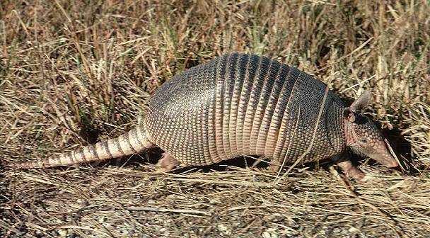 Nine_banded_armadillo