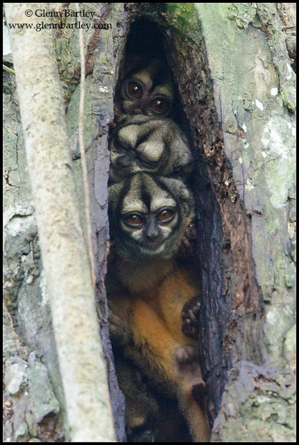 Nocturnal Monkeys rooting in a tree in Amazonian Ecuador.