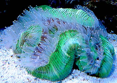 openbrain coral