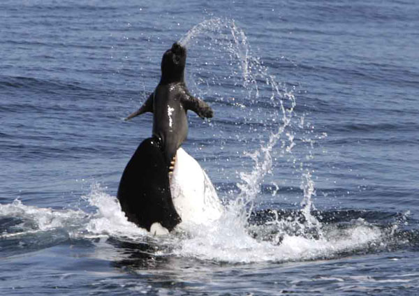 orca with seal prey